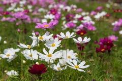 Il fiore dell'universo Immagini Stock Libere da Diritti