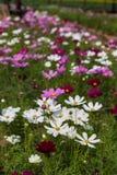 Il fiore dell'universo Fotografie Stock Libere da Diritti