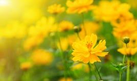 Il fiore dell'universo il giorno soleggiato Fotografia Stock Libera da Diritti