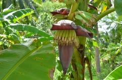 Il fiore della banana nel giardino Immagini Stock