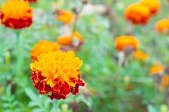 Il fiore della calendula o del tagete in giardino in basso ha andato Immagine Stock Libera da Diritti