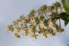 Il fiore della castagna Immagini Stock Libere da Diritti