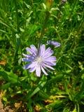Il fiore della cicoria Fotografia Stock