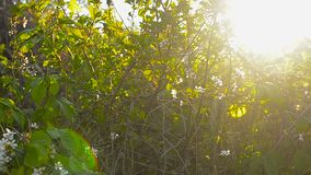 Il fiore della ciliegia nel giardino di primavera, molla fa il giardinaggio al sole video d archivio