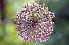 Il fiore della cipolla Immagini Stock