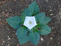 Il fiore della datura Fotografia Stock Libera da Diritti