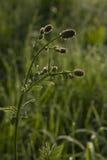Il fiore della foschia dell'erba del campo di mattina Fotografie Stock