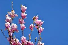 Il fiore della magnolia di piattino sboccia sull'albero in molla in anticipo davanti a chiaro cielo blu immagine stock libera da diritti