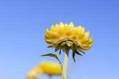 Il fiore della paglia Fotografia Stock