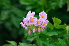 Il fiore della patata ha scoppiato sul fondo verde regolare del giardino Immagine Stock Libera da Diritti