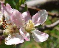 Il fiore della pesca si apre fotografia stock