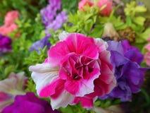 Il fiore della petunia fotografie stock libere da diritti