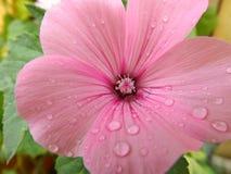Il fiore della petunia Immagini Stock Libere da Diritti