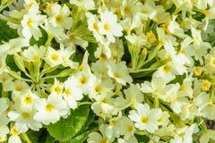 Il fiore della primavera è innescato per il paesaggio nel giardino immagine stock