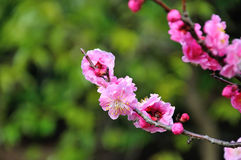 Il fiore della prugna Fotografia Stock