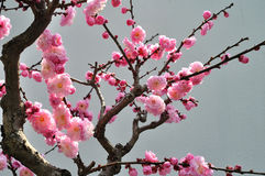 Il fiore della prugna Immagine Stock Libera da Diritti