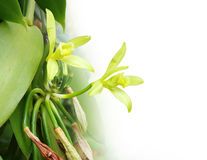 Il fiore della vaniglia Fotografia Stock