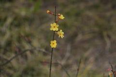 Il fiore della via della molla in anticipo a Pechino Fotografia Stock Libera da Diritti