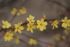 Il fiore della via della molla in anticipo a Pechino Fotografie Stock Libere da Diritti
