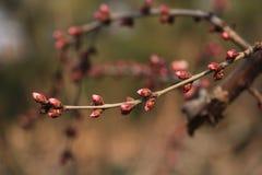 Il fiore della via della molla in anticipo a Pechino Immagine Stock