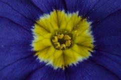 Il fiore della viola Fotografia Stock