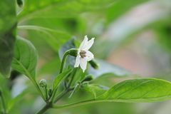 Il fiore delle piantine del pepe Fotografie Stock Libere da Diritti