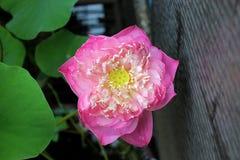 Il fiore dentellare Fotografia Stock