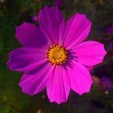 Il fiore dentellare Fotografie Stock