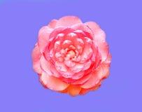 Il fiore dentellare della camelia Fotografia Stock