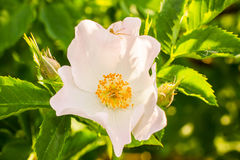 Il fiore dentellare selvaggio è aumentato Fotografia Stock Libera da Diritti