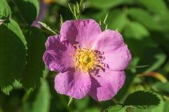 Il fiore di Briar selvaggio è aumentato Fotografie Stock Libere da Diritti