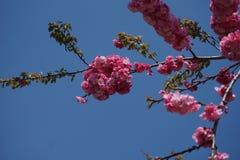 Il fiore di ciliegia immagini stock