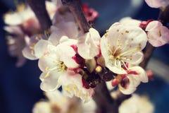 Il fiore di ciliegia delicato fiorisce il primo piano su fondo blu scuro Fotografia Stock Libera da Diritti