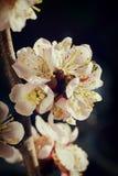Il fiore di ciliegia delicato fiorisce il primo piano su fondo scuro Immagine Stock Libera da Diritti