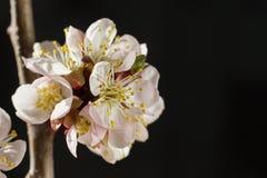 Il fiore di ciliegia luminoso fiorisce il primo piano su fondo scuro Immagine Stock Libera da Diritti