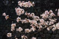 Il fiore di ciliegia o Sakura fiorisce con il fondo della parete della roccia Fotografia Stock