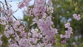 Il fiore di ciliegia piangente rosa si ramifica muovendosi nel vento stock footage