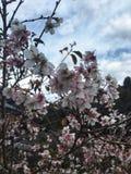 Il fiore di ciliegia sta fiorendo Fotografia Stock Libera da Diritti