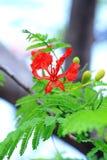 Il fiore di fiamma Immagine Stock
