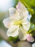 Il fiore di fioritura di melo dentro può fotografia stock libera da diritti