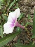 Il fiore di ipomea Immagine Stock