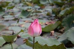 Il fiore di loto è bello ed interessante da guardare fotografia stock libera da diritti