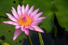 Il fiore di loto fotografia stock