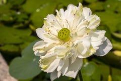 Il fiore di loto bianco è r nello stagno Immagini Stock Libere da Diritti