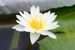 Il fiore di loto del primo piano, bello fiore di loto ha offuscato o sfuocatura Immagini Stock
