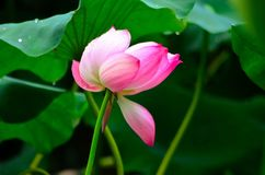 Il fiore di Lotus nella pioggia fotografie stock libere da diritti