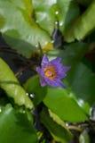 il fiore di lotusa è grazioso, il polposo, là è la bellezza in suo, Fotografia Stock