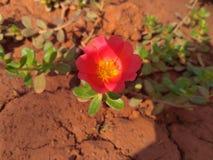 Il fiore di mattina Fotografie Stock
