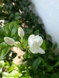 Il fiore di Mogra con un certo ` germoglia il ` fotografia stock