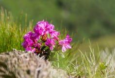 Il fiore di rosa selvaggio di rododendro o alpino è aumentato, macro immagine Fotografie Stock
